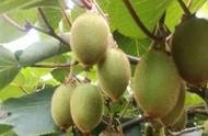 猕猴桃缺钙问题多,一年中最重要的3个黄金补钙时期,别错过