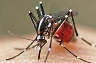 登革热传染的两种媒介昆虫是什么