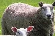 卖羊的一些骗局,很多养羊人己经上当