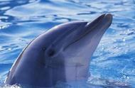 为什么有人掉进海里,海豚就会去救人?科学家:你可能被它骗了