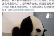 """给熊猫宝宝取名""""香港""""?柏林动物园:想和中方一起取名"""