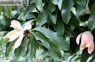 云南大理首次发现极危物种云南木莲