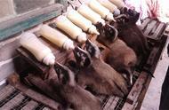 因一场疫情,背黑锅十几年,无人敢吃无人养,如今养殖一斤150元