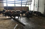 凉山甘洛县驻村干部巩固提升脱贫质量——川藏黑猪绿色产业链初步形成