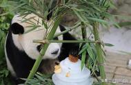 图 | 黔灵山公园熊猫吃月饼过中秋,三五口就吃光
