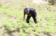 农村山上的野生蕨菜到底能不能吃