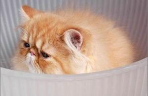 喜马拉雅猫价格和治疗猫癣的技巧