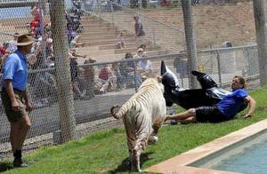 驯兽师不慎跌倒遭老虎攻击,放飞的鲨鱼让他脱离虎口