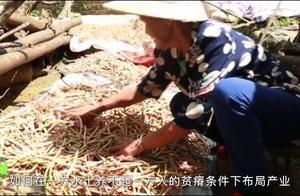 """《八桂农业 五彩田园》第77集:贷牛还牛发""""牛财"""""""