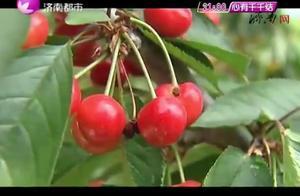樱桃季来了!快带上家人来柳埠尝鲜吧,三十多个品种任你挑选!