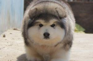 阿拉斯加雪橇犬,真正的哈士奇鼻祖