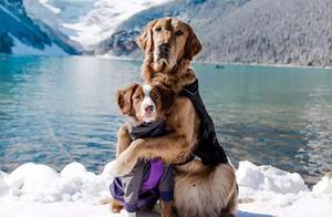 金毛入选导盲犬后患上抑郁症,被基地开除后摇身一变成旅游博主!