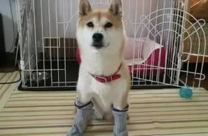 日本铲屎官示范如何轻松洗狗,网友:我还是洗只假狗吧
