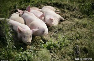 母猪贫血,补铁无效,我们应该怎么做?
