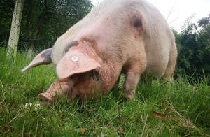 母猪久不发情原因与解决办法和注意事项