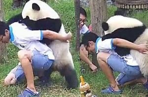 大熊猫想要奶爸背背,可看到熊猫的举动后,奶爸:你还要我怎样?