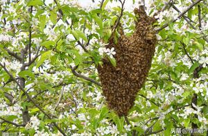 野蜂诱捕,回蜂和余蜂如何处理?老蜂农这样做一群变多群