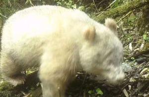 国内新发现-疑似全白的大熊猫