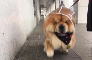 超胖松狮穿雨衣出门散步,配合囧字脸,治愈感爆棚
