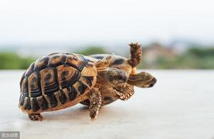 养陆龟不懂要怎么喂养?不用太过苦恼!你会发现其实简单