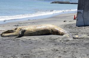 日本海岸接连2天出现鲸鱼尸体 已高度腐烂死因不明