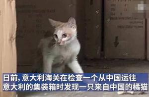 中国小橘猫坚强存活漂洋过海到米兰,网友:大难不死必有后胖