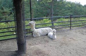 公园里的一对亲子羊驼,这羊驼宝宝也太可爱了吧!自带柔光的么
