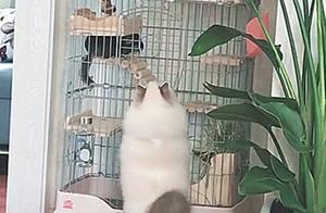 一只可爱的小布偶猫被主人养成了胖萨摩狗,布偶:吃你家猫粮了?