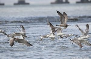 青岛:大批海鸥扎堆胶州湾河口洗海澡