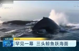 大饱眼福!三头鲸鱼露出海面 上演一出三连跳 游客目睹罕见一幕