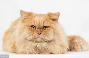 听说波斯猫现在价格很便宜,这是你千万不要错过的宠物猫!
