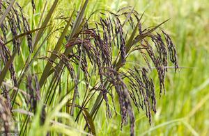 这一新品种黑米可种在旱地,经济价值很高!亩产可达1400斤!