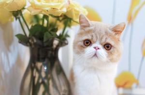 加菲猫可爱?但是它真的很难伺候,新手不建议养加菲