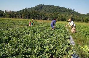 缅甸联邦政府:未经允许,农民不准将土地租给种水果的外国人