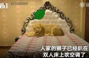 巴基斯坦小伙在家散养狮子:共用豪华卧室 随便躺床上吹空调