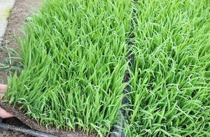 种植水稻常见的一种病害:根部发霉甚至出现腐烂,提前预防是关键