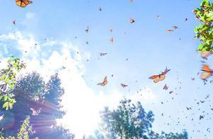 上亿只蝴蝶齐飞,场面壮观,看蝴蝶翩翩起舞,错过了只能等下一年