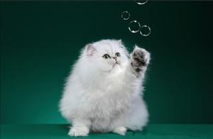 集美貌与智慧于一身的大眼睛自恋猫---金吉拉猫
