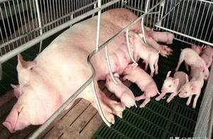 夏季母猪总是不吃食咋回事?如何解决?