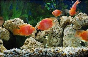 情侣因为浪漫养接吻鱼,但知道接吻的原因后,让人哭笑不得