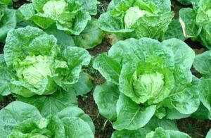 农民种的白菜菜青虫严重,即使不用农药,这5种土方法也可解决!