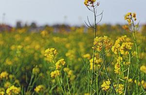 春之间《油菜花》