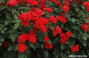 北京月季地图已画好,11家公园展出2000多个品种!