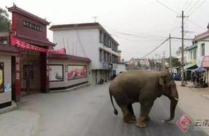 西双版纳野象又惹祸!勐海采茶女子遭攻击身亡 大象咋了?