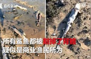 星鲨被割掉背鳍后扔回大海怎么回事 每年约1亿条鲨鱼受害