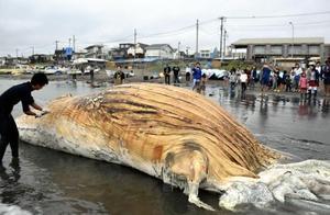 日本海岸接连2天出现鲸鱼尸体 原因不明