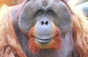 痛心!南京动物明星红猩猩乐申意外离世