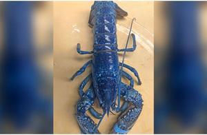 餐厅发现蓝色龙虾可以吃吗 蓝色龙虾和普通龙虾有什么区别