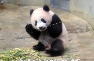 """大熊猫""""香香""""将延期送还中国 外交部:希望大熊猫能更好地发挥中日友好""""使者""""的作用"""