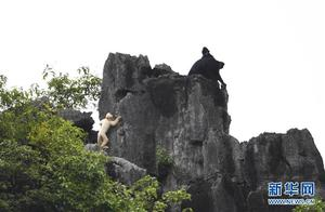 广西再次发现白化黑叶猴